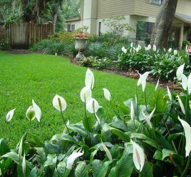 como cuidar do lirio da paz no jardim