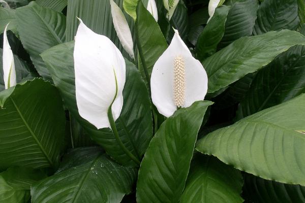 lírio da paz Spathiphyllum wallisii