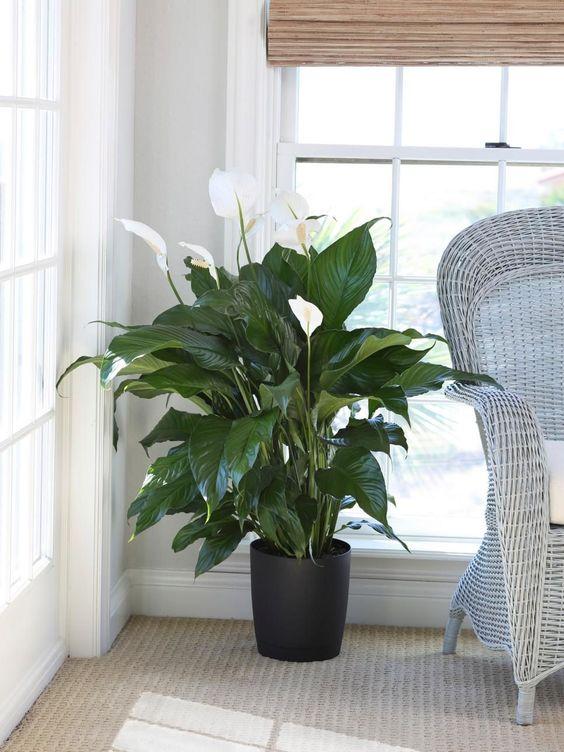 lirio da paz plantado em vaso dentro de casa